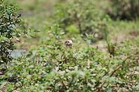 Immature yellow-headed caracara, Milvago chimachima. Tarcoles River, Costa Rica