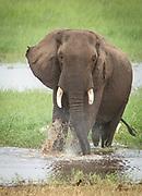 Nature photograph of a single African elephant (Loxodonta africana) walking in water in Tarangire National Park, Tanzania
