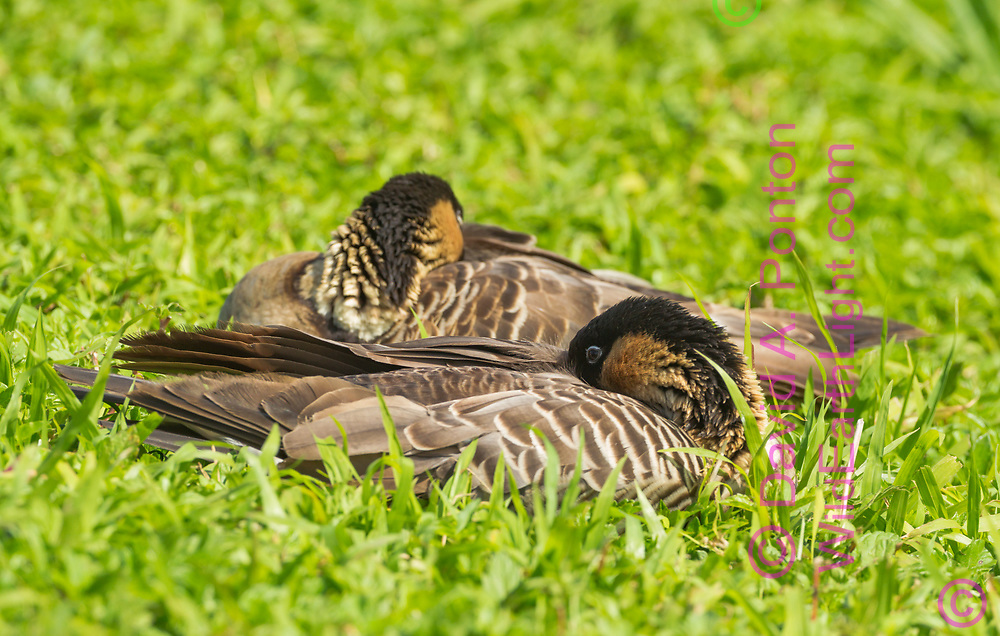 Hawaiian geese sleep close together on grass