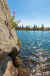 """""""Fireweed at Paradise Lake 3"""" - This fireweed flower growing out of a small crack in a boulder was photographed at Paradise Lake, California."""