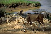 Lesser Kudu, Tragelaphus imberbis, female, walking, Kenya
