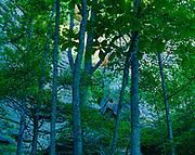 Bigleaf Magnolias, Magnolia macrophylla, along sandstone cliff of Red River Gorge Geologic Area, Daniel Boone National Forest, Kentucky.