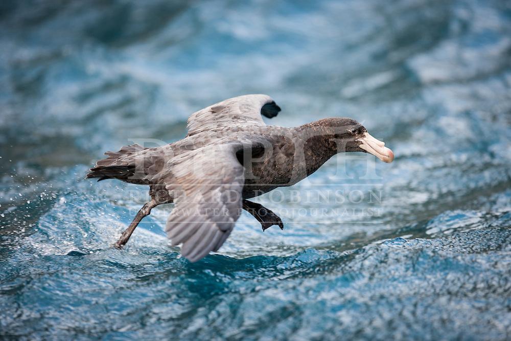 Macronectes halli (Northern Giant Petrel) at the subantarctic Bounty Islands, New Zealand. Wednesday 12  March 2014<br /> Photograph Richard Robinson © 2014