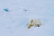 A polar bear on the ice flows in Svalbard, Norway