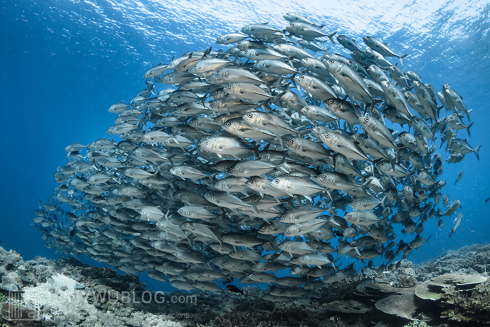 A school of bigeye jacks (Caranx sexfasciatus) moving across a shallow reef top, moving together en masse in order to take advantage of the concept of safety in numbers.