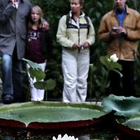 Nederland, Amsterdam , 30 augustus 2010.. In de Hortus Botanicus in Amsterdam bloeit sinds maandagavond half zeven de beroemde Victoria-waterlelie. De bloem bloeit slechts twee nachten en opent zich bij schemer, aldus een woordvoerster. .De Hortus heeft maandagavond speciaal de deuren geopend, zodat belangstellenden de 'koningin der waterlelies' kunnen bewonderen in al haar glorie. De bloem bloeit ongeveer eenmaal per jaar en trekt doorgaans honderden bezoekers..De Victoria is de eerste nacht wit van kleur. De tweede nacht opent de bloem zich opnieuw, maar is dan roze. Na de tweede nacht sluit de bloem zich en verdwijnt dan onder water. .The famous Victoria amazonica is the queen of the water lilies. Her flower opens around dusk. Victoria amazonica has flowered at regular intervals in the Amsterdam Hortus since 1859. In the past, visitors would stand in line during special evening openings to see this enormous water lily. Since 2002, the Hortus has grown different species of Victoria in a special heated outdoor pond. This year a Victoria has been planted in the pond again..Visitors admire the once a year appearing flower of the plant.