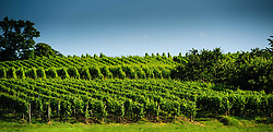 Vineyards near the village of Westhoffen in Alsace, France on the Routes des Vins<br /> <br /> (c) Andrew Wilson | Edinburgh Elite media