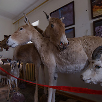 A display of mounted wild animals at a small museum near Yolyn Am (The Vulture's Mouth) in the Gobi Desert, Mongolia.