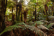 Ferns and Forest, Catlins, New Zealand
