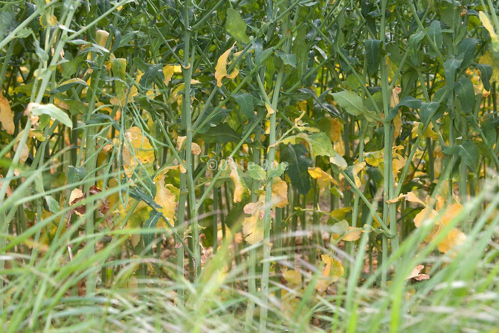 underside of Colza crop