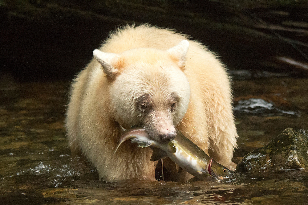 The Kermode bear, also known as the spirit bear, is a rare subspecies of the American black bear living in the Central and North Coast regions of British Columbia, Canada. Spirit Bears are a subspecies of a north American Black bear with a rare recessive that makes their fur white or cream.  <br /> <br /> Spirit bears are not albino. They have pigment in their skin and eyes, which wouldn't be the case with albinos. Spirit bears have a single mutant gene that causes their unusual coloration.<br /> <br /> How may spirit bears are there?  No one agrees on the exact number of spirit bears living in this corner of the world, but the best estimate is that the spirit bear population numbers no more than 400 individuals.