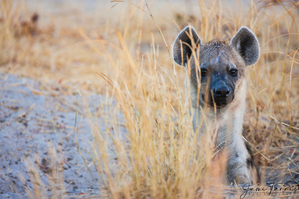 Close-up portrait of an adult hyena (Crocuta crocuta) looking out from the den while nursing her young,Khwai River, Botswana, Africa