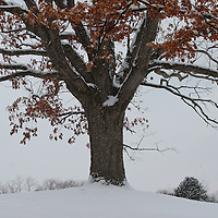 """""""Rustling of the Oaks""""<br /> <br /> As the snow falls on a cold winter day, you can hear the rustling of the dried leaves on this huge old Oak tree as the wind and snow whip through the air!!<br /> <br /> Winter in Michigan by Rachel Cohen Winter in Michigan!<br /> <br /> Beautiful winter scenes, winter wonderlands, and lone trees in winter!<br /> <br /> Images in color, B&W, and using selective color.<br /> <br /> If you love winter, snow, trees, rolling hills, and lone trees then you'll find a lovely selection!! <br /> <br /> Winter in Michigan by Rachel Cohen"""