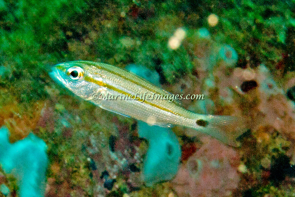 Tomtate, juvenile, inhabit reefs in Tropical West Atlantic; picture taken Panama near San Blas Islands.