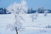 Hoarfrost covered trees <br /> Birds Hill Provincial Park<br /> Manitoba<br /> Canada