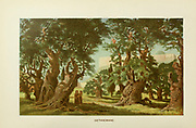 Coloured Illustration of Ancient Olive trees in Garden of Gethsemane, Jerusalem from the book Palestine illustrated by Sir Richard Temple, 1st Baronet, GCSI, CIE, PC, FRS (8 March 1826 – 15 March 1902) was an administrator in British India and a British politician. Published in London by W.H. Allen & Co. in 1888