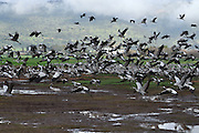 a large flock of Common crane (Grus grus) Silhouetted at dawn. Large migratory crane species that lives in wet meadows and marshland. It has a wingspan of between 2 and 2.5 metres. It spends the summer in northeastern Europe and western Asia, and overwinters in north Africa. It feeds on vegetation, insects, frogs and snakes. Photographed in the Hula Valley, Israel, in February