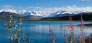 Fireweed blooms pink magenta at Summit Lake (3210 feet elevation) beneath the snowy Alaska Range, along the Richardson Highway near Paxson, in Alaska, USA. Panorama stitched from 2 overlapping photos.