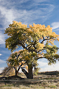 Vertical of entire cottonwood tree, Los Luceros, New Mexico<br />