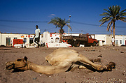 A camel lies at the side of the road resting.Tadjoura,  Republic of Djibouti. Tadjura is the oldest town in Djibouti and the third largest city in the country with a population of some 25,000.
