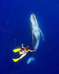woman snorkeler and humpback whale, Megaptera novaeangliae, Hawaii, USA, Pacific Ocean