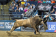 The horns on all the bulls are dulled, but that doesn't make these 1,500+ pound animals any less dangerous.
