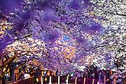 Kirschblüten Zeit in der südkoreanischen Stadt Jinhae - gelegen in der Süd-Gyeongsang Provinz. Wenn die über 22.000 Kirschbäume von Jinhae erblühen, hüllen sie die ganze Stadt in ein schneeeweißes Blütenkleid ein. Jinhae, Südkorea, 06.04.2010, Bild: Bjoern Steinz