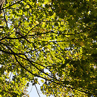 Norway Maple (Acer platanoides)