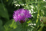 thistle Photographed in Georgia