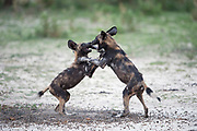Wild dog puppies play fighting