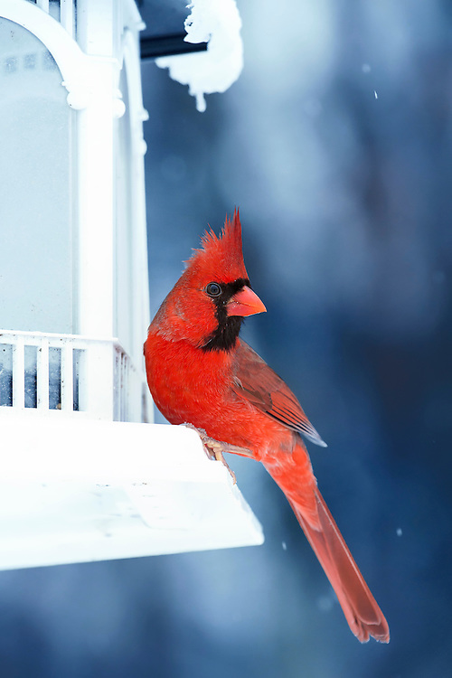 """A Male Northern Cardinals perched on a white feeder in the midst of a cold winter snow storm. The vibrant Cardinal red contrast against the chilly blues and white snow. The Northern Cardinal is a North American bird in the genus Cardinalis, it is also known colloquially as the redbird or common cardinal.<br /> <br /> The Northern Cardinal or """"Redbird"""" is probably one of most popular visitors to backyard bird feeders. Its range extends over most of the eastern USA, parts of extreme southeastern Canada, and south through Mexico to Belize. It has also been introduced to Hawaii. Its variable call, a loud """"cheer cheer cheer"""" or """"purty purty purty,"""" is sung by both sexes and can be heard year round. Cardinals are nonmigratory, but some movement does occur in the later summer and fall.<br /> <br /> The male Northern Cardinal is perhaps responsible for getting more people to open up a field guide than any other bird. They're a perfect combination of familiarity, conspicuousness, and style: a shade of red you can't take your eyes off. Even the brown females sport a sharp crest and warm red accents. Cardinals don't migrate and they don't molt into a dull plumage, so they're still breathtaking in winter's snowy backyards. In summer, their sweet whistles are one of the first sounds of the morning."""