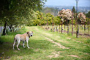 Enzo guards the vineyard, Square Peg Winery.