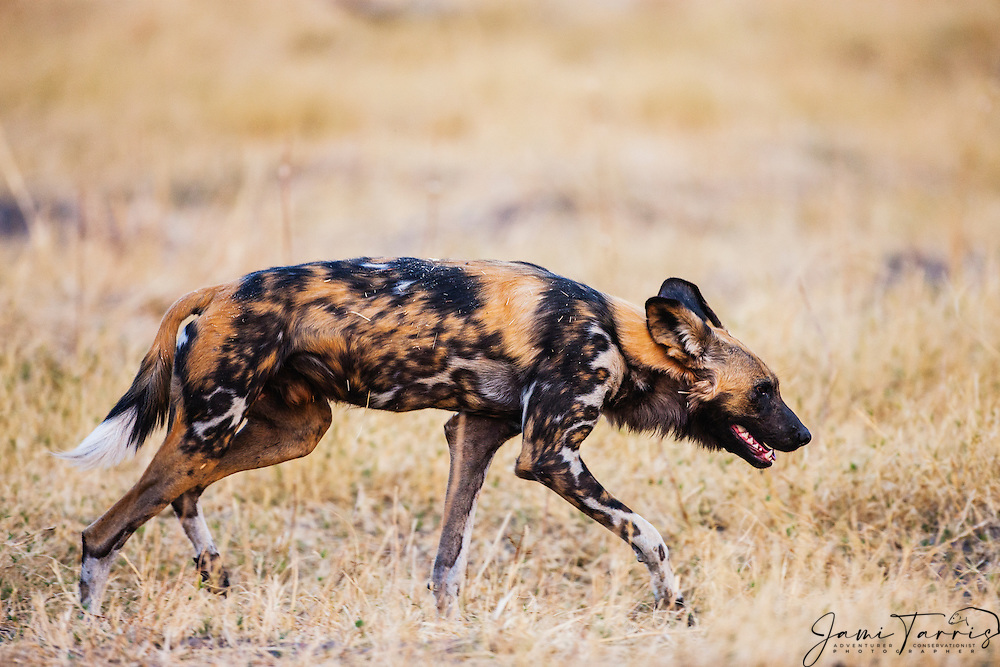 An African Wild Dogs (Lycaon pictus) after an unsuccessful  early morning hunt, Moremi Game Reserve,Botswana, Africa