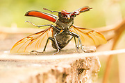 Stag beetle (Lucanus cervus) preparing for takeoff. Surrey, UK.