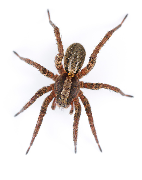 Alopecosa pulverulenta - Female - A common wolf spider found on open ground of many sorts. Alopecosas are more substantial spiders than the more abundant Pardosa species and more strikingly marked.