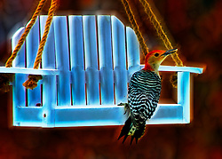 A Red-Bellied Woodpecker with a bit of artistic flare on my favorite bird feeder.