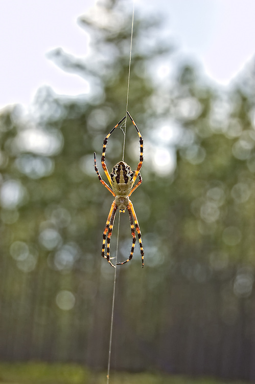 This big spider was actually seen from the car while driving through the Apalachicola National Forest. I just had to pull over!