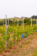gamay vineyard trellised moulin a vent beaujolais burgundy france