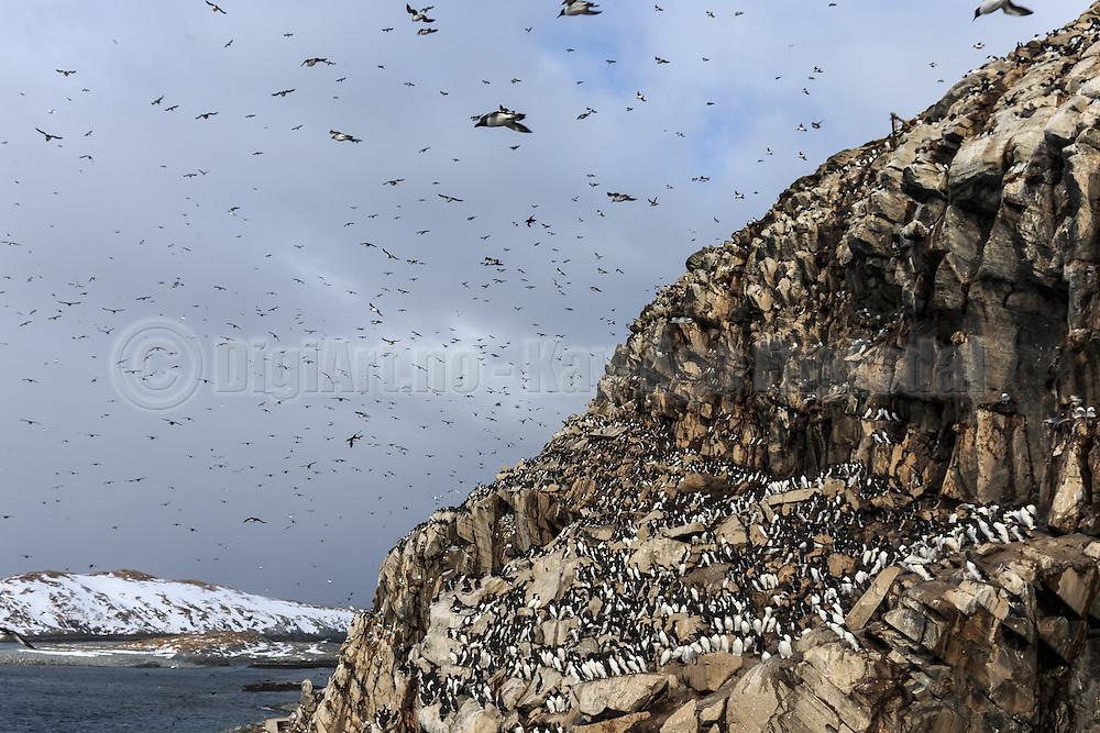 Thousands of birds in the air and the montain at Hornøya, Norway   Tusenvis av fugler i luften og i fjellet på Hornøya, Norge.