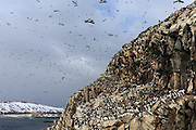 Thousands of birds in the air and the montain at Hornøya, Norway | Tusenvis av fugler i luften og i fjellet på Hornøya, Norge.