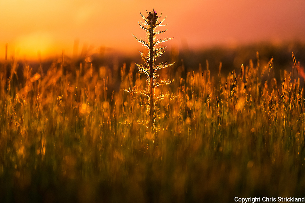 Carter Bar, Jedburgh, Scottish Borders, UK. 16th June 2018. A thistle is backlit by the setting sun on the Anglo Scottish Border.