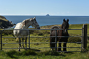 You talkin to me ? Two horsey friends in a field in The Glen in County Kerry with Skellig Rocks in the background.<br /> Picture by Don MacMonagle -macmonagle.com
