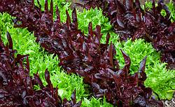 Lettuce 'Reine de Glace' and 'Solix'. Lactuca sativa