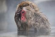 A snow monkey (Macaca fuscata) resting his head on his hand in a steamy hotspring , Jigokudani, Yamanouchi, Japan