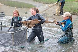Katie, Stephanie & Kitty Putting Shovelnose Guitarfish Into Pen