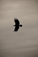 A silhouette of a Tawny Eagle in flight in the Masai Mara National Park, Kenya