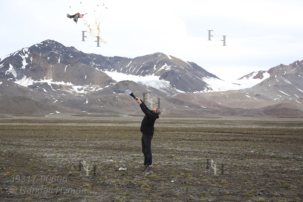 Biologist Sveinn Are Hanssen (Norwegian Institute for Nature Research) fires net cannon at Arctic skua (Stercorarius parasiticus) for temporary capture during field research; Kongsfjorden, Svalbard.