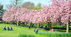 © Licensed to London News Pictures. 10/04/2014. London, UK People walk and play amongst the pink cherry blossom in bright sunshine at Greenwich Park in London today, 10 April 2014,The weather forecast is set to be brighter and warmer over the coming days.Photo credit : Stephen Simpson/LNP
