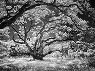 One Thousand year old tree in Rockport, Texas