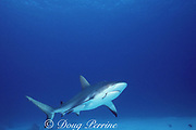 Caribbean reef shark, Carcharhinus perezi, with fishhook in mouth, Bahamas ( Western Atlantic Ocean )